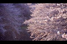 cherry blossoms snowstorm ~桜吹雪~の画像(写真)