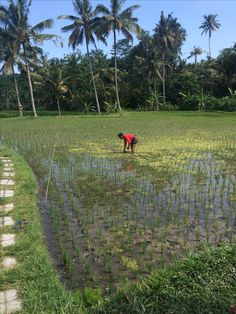 Working at the rice fields