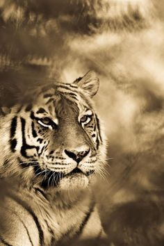 Big cats photographed by Goran Anastasovski