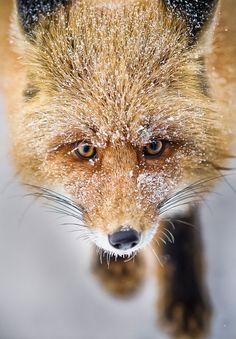 Fox by @Evgeny Radchenko