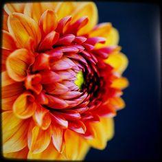 The flashy one. #pnw #macro_flowers #ig_flowers #flowerstalking #9vaga_flowersart9 #ig_mood #bestcaptureglobal #hot_macros #em_member #smallworld_uc #pocket_pretty #topfleur #fav_flowers_ #quintaflower #flowersandmacro #my_daily_flower #igscflowers #flipping_flowers #Macroandflora #macroclique #saylovetonature #tgif_macro #eye_for_earth #epix_flowerz #pocket_macro #flaming_flora #petal_perfection #lens_it2me