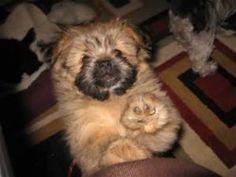 11 Best Luna Bear Shiranian Muppet Dog Images On Pinterest