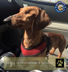 *** THE GOLD PAW IS UP FOR GIBBY *** It is great news for little Gibby. He was so emaciated and needed an eye removed to help save his life. Well Gibby went home and will be living the life from here on out! Congrats Gib! #doxie #dachshund #dogoftheday #doxieoftheday #dachshundoftheday #sweet #drbc #love #dachshundsofinstagram #salchicha #teckel #dackel #doxiesofinstagram #doxiecentral #teamweenie #weenie #donate #give #care #smile #smileoftheday