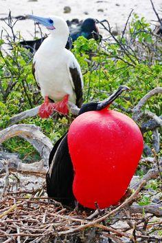 Tesourão-grande (Fregata minor) macho (peito vermelho): espécie ameaçada de extinção. Endangered specie. Foto: Cassiano Zaparoli (zapa) | Wiki Aves - A Enciclopédia das Aves do Brasil
