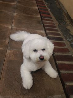 All Breeds Of Dogs, Dog Breeds, God Pictures, Cute Pictures, Animals Of The World, Animals And Pets, Bichon Dog, Bichons, Fabulous Furs