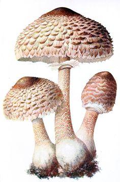 Parasol mushroom (lepiota procera)    Albin Schmalfuss, from Führer für Pilzfreunde (The mushroom lover's guidebook) vol. 1, by Edmund Michael, Zwickau, 1901.