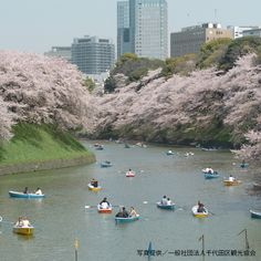 Cherry Blossoms in Tokyo: 10 Best Spots for Sakura in - LIVE JAPAN (Japanese travel, sightseeing and experience guide) Japanese Travel, Cherry Blossoms, How To Introduce Yourself, Places To See, Travel Guide, The Good Place, Travel Destinations, Tokyo, Movie