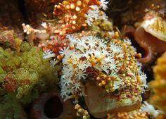 Delicates - Octocoral - Carijoa sp.