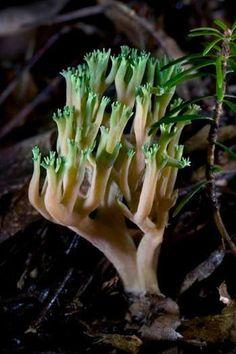 Green-tipped Coral Fungus (Ramaria apiculata) (764×1146)