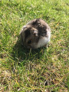 My hamster named Melvin! Dwarf Hamsters, Cute Hamsters, Animals And Pets, Funny Animals, Cute Animals, Russian Dwarf Hamster, Hamster Names, Lovely Creatures, Little Pets