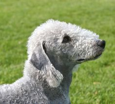 Bedlington Terrier - saw one today!