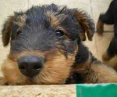 Baby airedale terrier