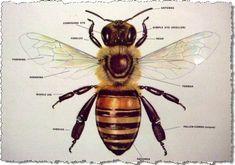 Honey Bee Body Parts