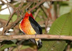 Foto uirapuru-laranja (Pipra fasciicauda) por Davi Abreu | Wiki Aves - A Enciclopédia das Aves do Brasil