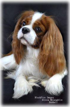 Cavalier King Charles Dog, King Charles Spaniel, Loyal Dogs, Kodak Moment, Dog Show, Cute Dogs, Cute Animals, Puppies, Long Island
