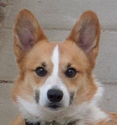 Doogie is an adoptable Corgi Dog in Simi Valley, CA. Doogie is a 3 year old corgi whose family turned in when they moved. He is housebroke, obedience trained, and good with most dogs. He has some fo...