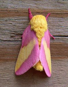 "Found in Sothern Anne Arundel County, Maryland ""Rosy Maple Moth"" ""Dryocampa rubicunda"" Dryocampa Ceratocampinae Saturniidae BMNA moth midsize pink yellow. I have seen this in real life and its so pretty! I want one as a because its pink and animals Beautiful Creatures, Animals Beautiful, Cute Animals, Wild Animals, Baby Animals, Beautiful Bugs, Beautiful Butterflies, Rosy Maple Moth, Cool Bugs"