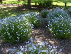 Blue-Eyed Grass (Sisyrinchium bellum) - needs little water, full to partial sun, blue flowers