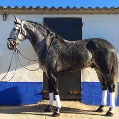 """scarlettjane22:  """" Cavalos Horses Lusitanos """""""