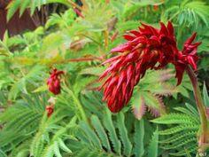 melianthus_major drought tolerant, attracts hummingbirds