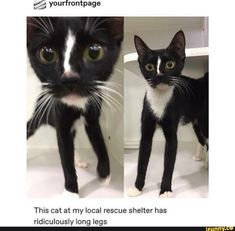 This Cat At My Local Rescue Shelter Has Ridiculously Long Legs Cute Funny Animals, Funny Cute, Cute Cats, Hilarious, Animals And Pets, Baby Animals, Unique Animals, Happy Cartoon, Girl Cartoon