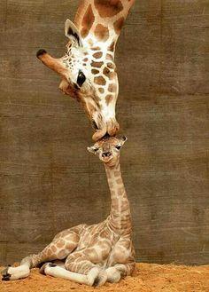 Misha kissing her newborn calf
