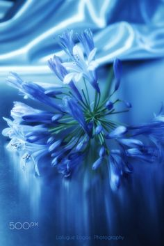 babyblue.quenalbertini: Something Blue, Blossom Collection