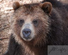"""Grizzly Closeup by JRRCrafts on Etsy, $30.00 Please """"like"""" my page on Facebook, One Crafty Rose, to keep up to date with the newest items!  Thank you for looking at my crafts!"""