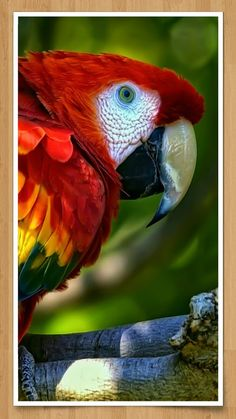 Find and save ideas about Colorful birds, Pretty birds, Beautiful birds and Tropical birds. Tropical Birds, Exotic Birds, Colorful Birds, Colorful Parrots, Tropical Animals, Colorful Animals, Exotic Pets, Pretty Birds, Beautiful Birds