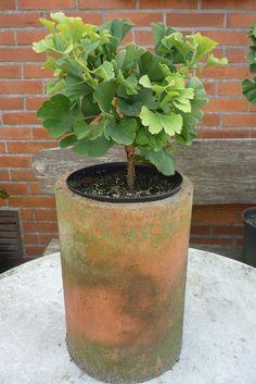 """Tempelbaum,Urzeitbaum Ginkgo biloba """" Mariken"""" Der Ginkgo hat seinen Ursprung in China.Er wurde von holländischen Seefahrern nach Europa gebracht.Der Ginkgo wurde zum Baum des Jahrtausends ernannt.Er ist ein Mahnmal für Umweltschutz und Frieden..... von Holz- Kreativ auf DaWanda.com"""
