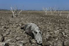 The carcass of a yacare caiman lies in the dried-up river bed of the Pilcomayo river in Boqueron, Pa... - REUTERS/Jorge Adorno