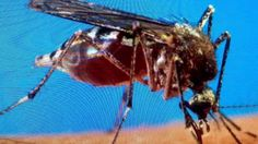 """""""BREAKING Yellow Fever California From Mosquitoes"""" Last Days Plagues"""