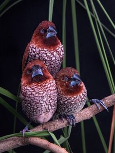 The scaly-breasted munia or spotted munia (Lonchura punctulata), known in the pet trade as nutmeg mannikin or spice finch, is a sparrow-sized estrildid finch native to tropical Asia. A species of the genus Lonchura, it was formally described and named by Carl Linnaeus in 1758. Its name is based on the distinct scale-like feather markings on the breast and belly. The adult is brown above and has a dark conical bill. The species has 11 subspecies across their range and differ slightly in size.
