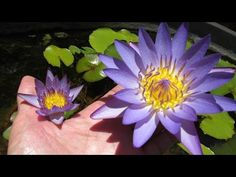 See viviparous tropical water lily baby plants after being potted. The baby plants are genetic clones of their parent and will bloom identically colored flow. Garden Pond, Water Garden, Propagation, Water Lilies, Bloom, Tropical, Lily, Youtube, Plants