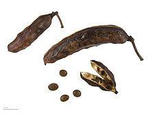 Vachellia farnesiana - Wikipedia, the free encyclopedia
