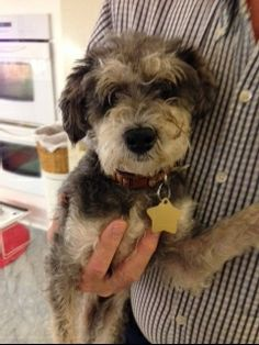 This is Halie who is our adorable 10 pound, two year old Schnoodle, Schnauzer/Poodle mix rescue.  She is so cute and so sweet. She is very sweet, low-key. She's just the perfect little lap dog and loves to be held.  She just loves people and gets...