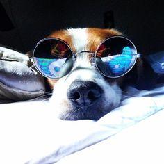 Este beagle simplemente está siendo él mismo y no tiene idea de cuán adorable se ve con esos anteojos…   19 perros que aún no saben lo lindos que son