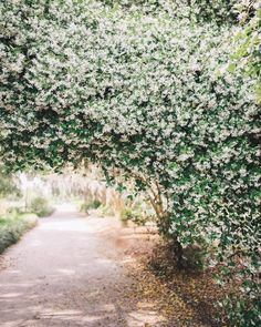 There's confederate jasmine blooming all over Charleston and it smells so heavenly! We have it covering our fence in the front yard but this archway in the park is pretty amazing! #charleston #hamptonpark #explorecharleston #southerncharm #springblooms #confederatejasmine