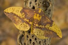 Darrel Gulin Photography | Gallery | Silk Moths