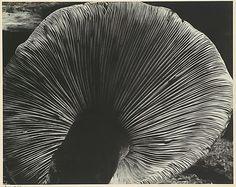 Toadstool Edward Weston (American, Highland Park,...
