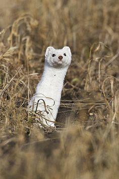 long-tailed weasel - Gerald Romanchuk photos at pbase.com