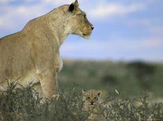Lioness (Panthera Leo) with Small Cub, Kalahari Gemsbok Park, South Africa, Africa - Photographer Steve & Ann Toon