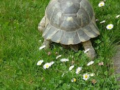 Marginated Tortoise- the carapace protecting the tail is not divided, as in most tortoises.