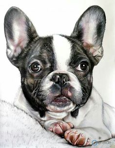 French Bulldog illustration, by Alberto Vittorio Viti.