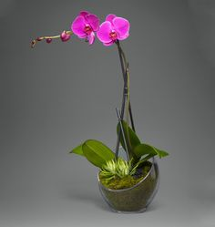 A Single Stem Fuchsia Orchid - A sculpted single stem fuchsia orchid in a modern half moon vase accented with a succulent mini plant| L'Olivier Floral Atelier