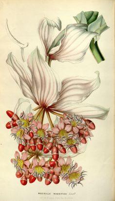 Medinilla magnifica - circa 1850 - version 1