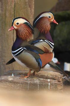 Marreco Mandarim Aix Galericulata - Aves do Mundo - Atibaia/SP