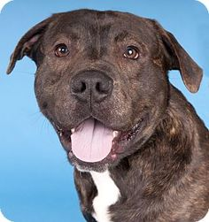 Chicago, IL - American Staffordshire Terrier/American Pit Bull Terrier Mix. Meet Neville, a dog for adoption. http://www.adoptapet.com/pet/17795988-chicago-illinois-american-staffordshire-terrier-mix