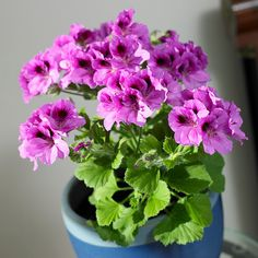 24 Flowering Plants That Can Grow Indoors Geranium Several types of geraniums are grown as houseplants. Regal or Martha Washington geranium, pictured, has the largest, showiest blooms, but requires cool growing conditions. The common garden geranium (P. Growing Geraniums, Ivy Geraniums, Growing Plants, Growing Flowers, Martha Washington Geranium, Flowering House Plants, Potted Plants, Indoor Vegetable Gardening, Gardening Hacks