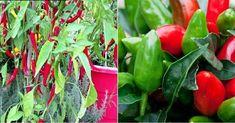 Descubre los consejos de BALAUSTRES MARTINES para el cultivo de los mejores chiles en macetas... ¿Podrás resistir la tentación =)?